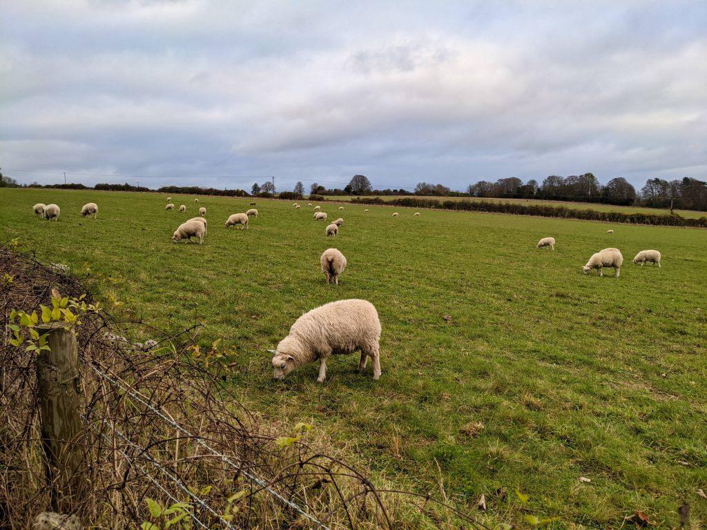 sheep grazing on meadows