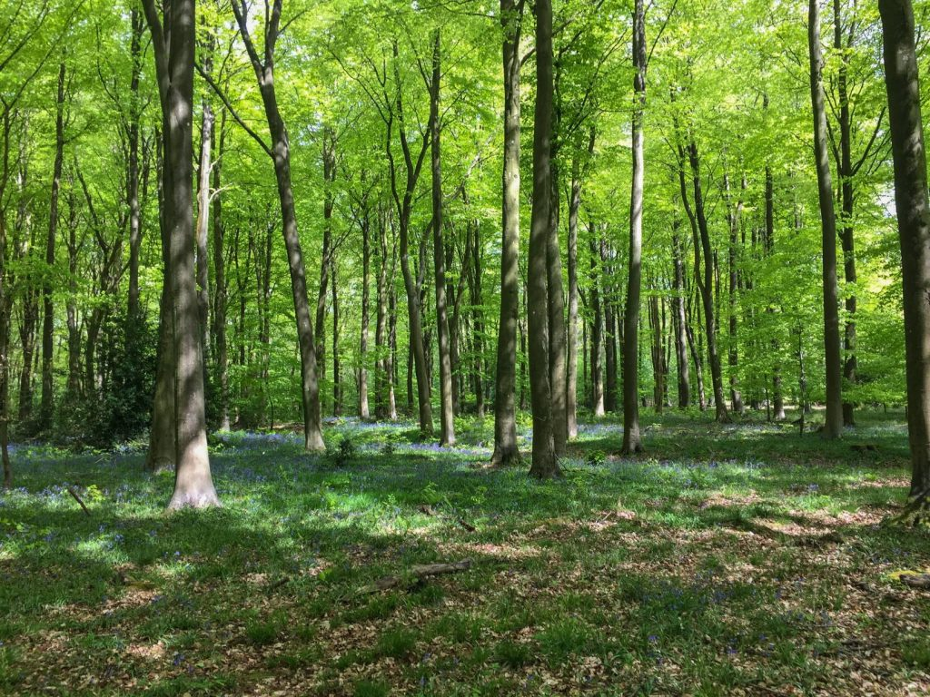 trees and first bluebells coming through  in April