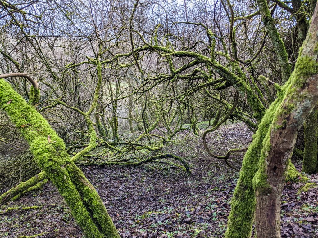 Moss on trees - Enchanting ancient woodland at Morestead Down
