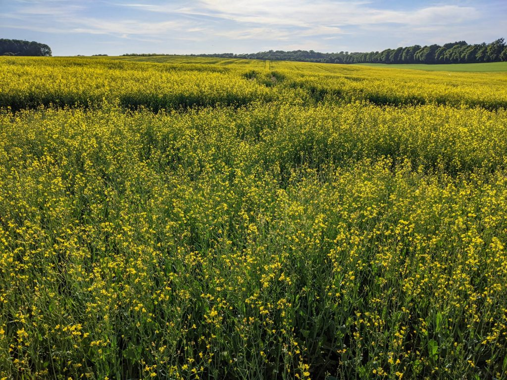 field with blooming rape seed