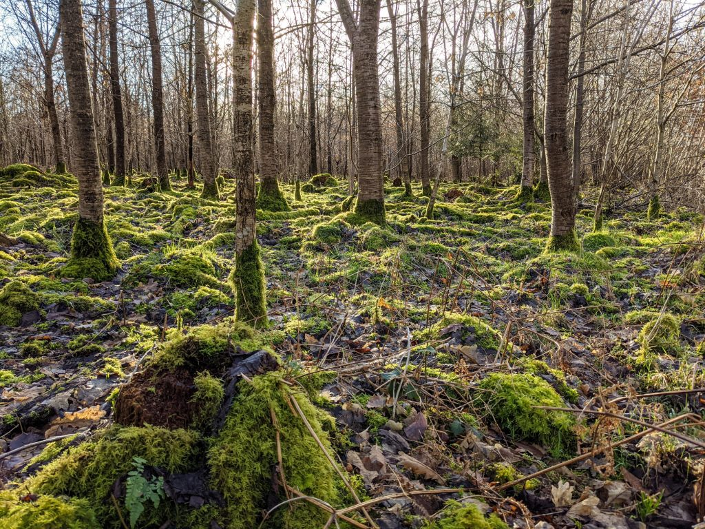Crabwood moss