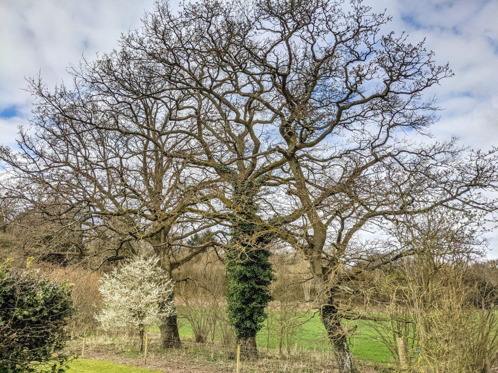 Tree, Furzedown