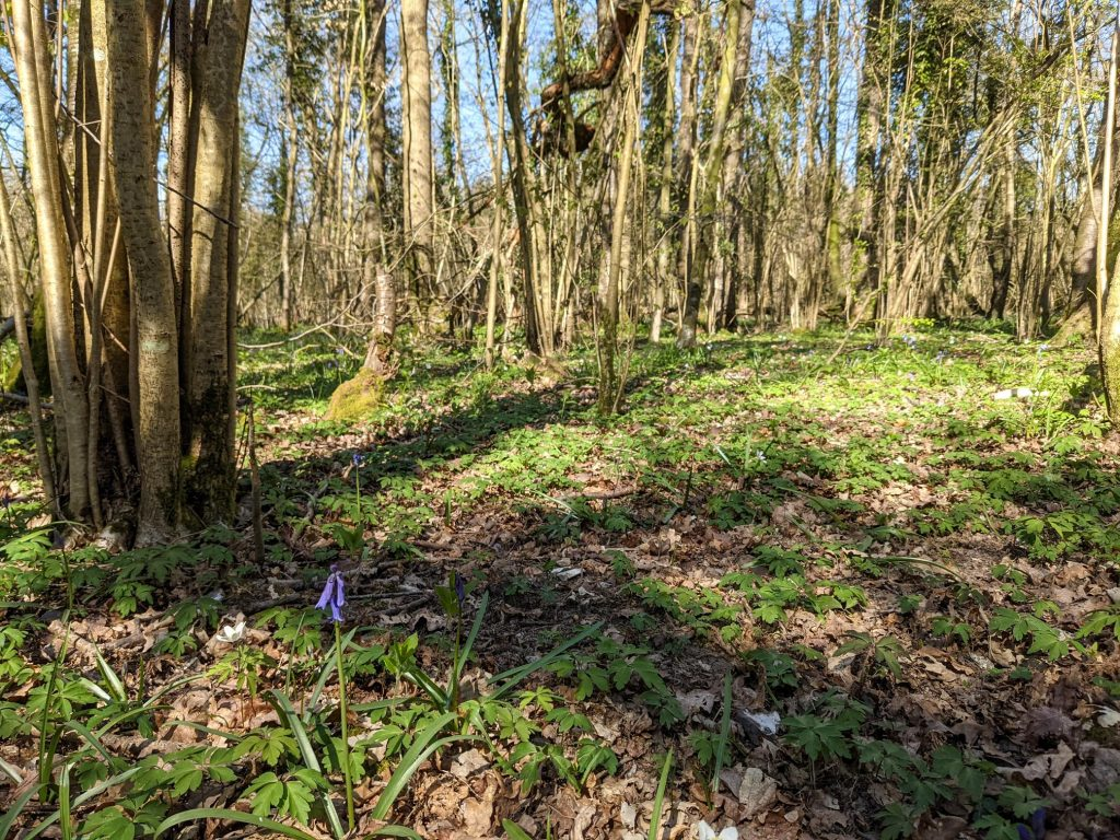 Bluebell in Crab Wood