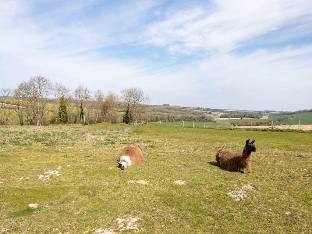 Lounging Llamas